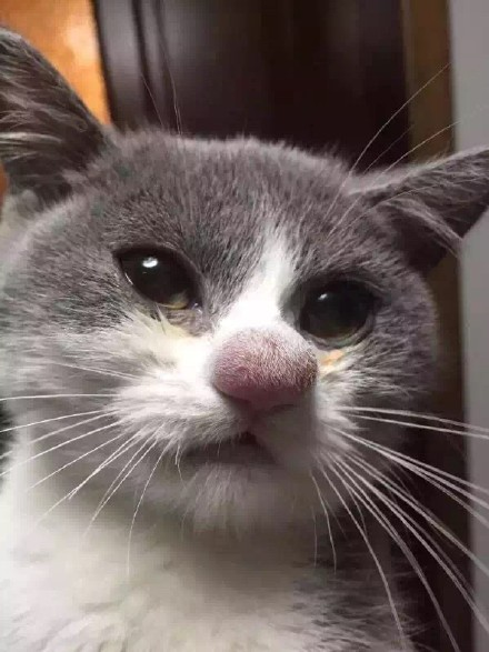 Cat vs Bee = Swollen Nose