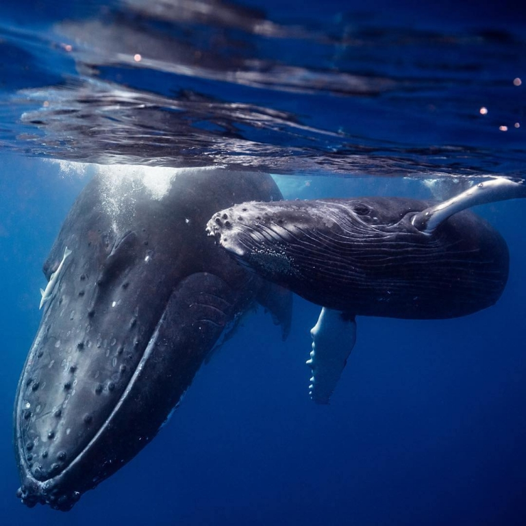 Humpback Whales by Jem Cresswell