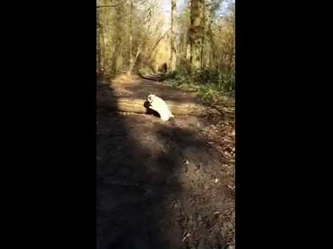 Not all dogs can jump. Watch this pug tries a log jump and ended up a faceplant! #LOL