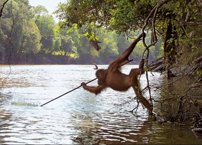 An Orangutan in Borneo seen spear fishing after watching local fisherman
