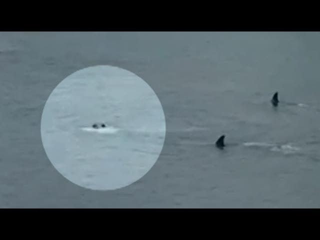 Killer Whales Close in on Kids Swimming in Bay... #Frightening