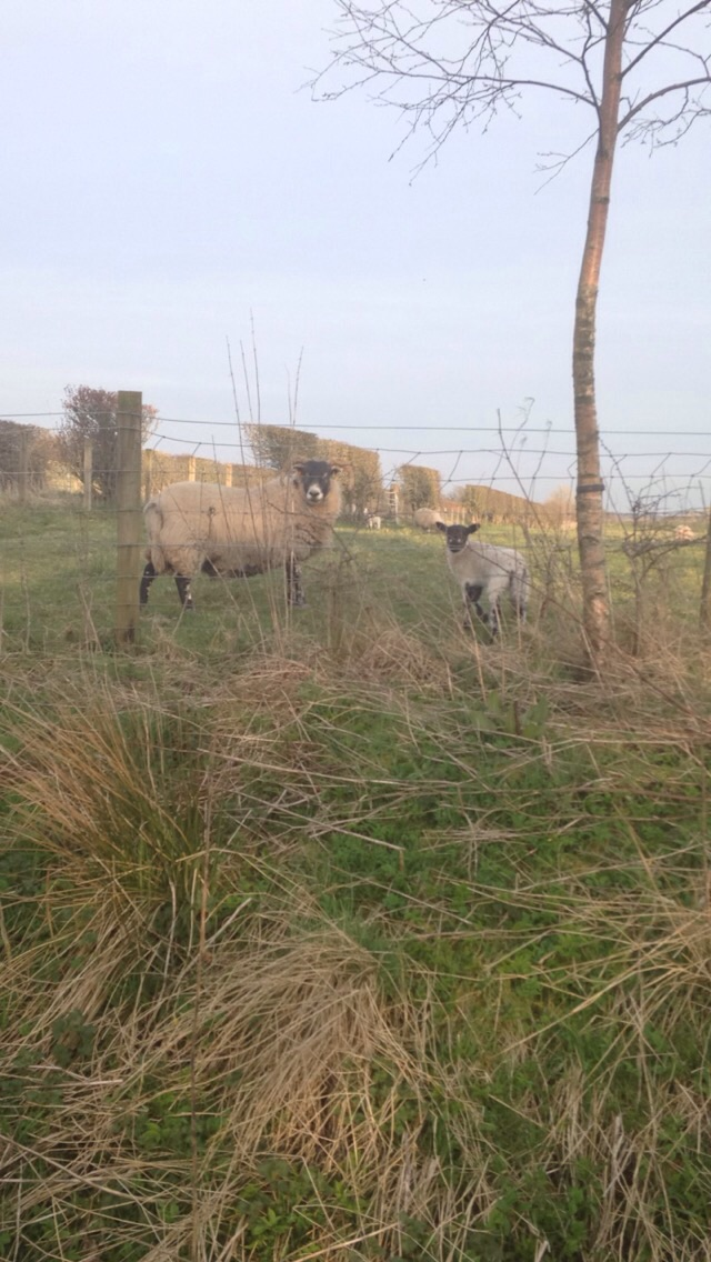Spring lamb, right up at the fence while walking the dog :)