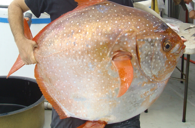 The Opah Is The First Warm-Blooded Fish Identified