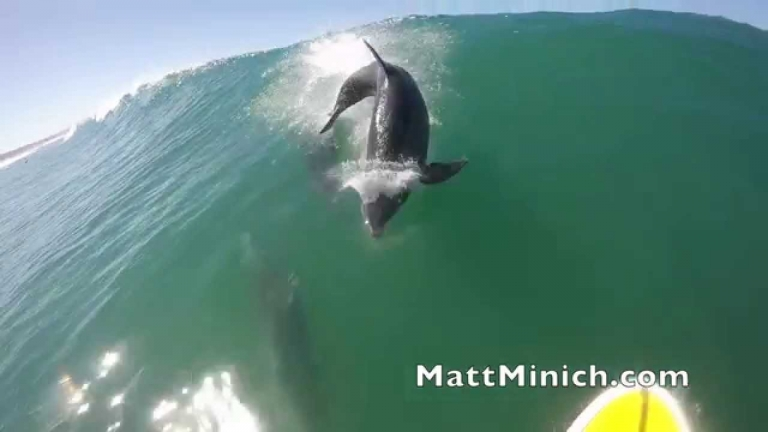 Dolphin Takes Down Paddle Surfer!