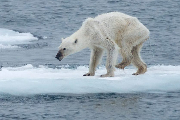 #Science: Is the photo of this starving polar bear proves that climate change is real?