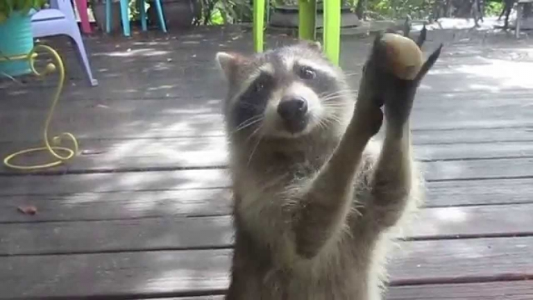 Raccoon Running Away With Cat Food Gif