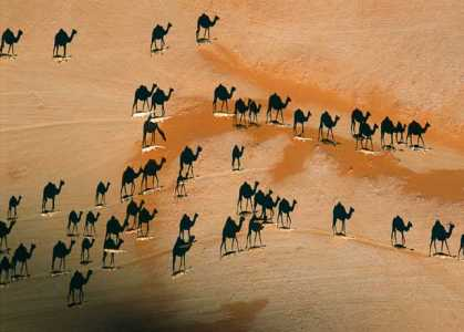 #Photography: National Geographic: Camel Shadows In The Desert Sunset