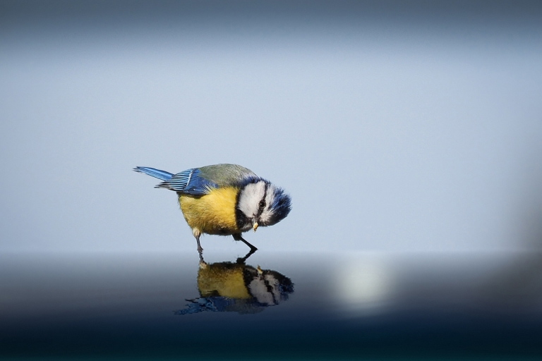 Blue Tit Bird Looking at its Reflection