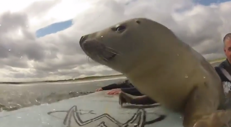 #Cute #seal #surfing with the surfer dudes. See this shockingly cute video!!!