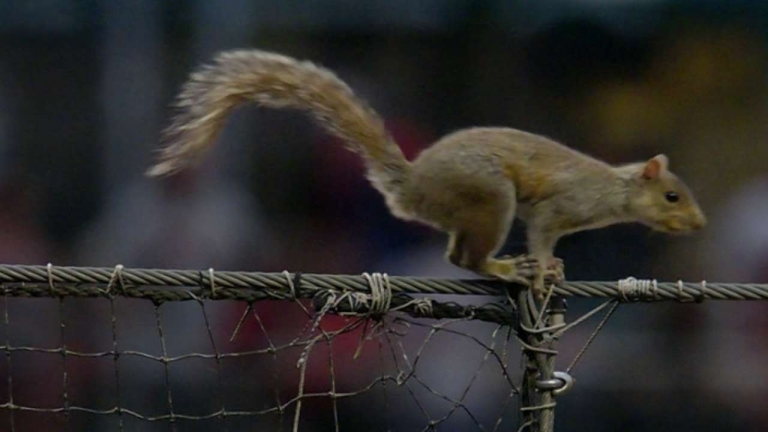 Watch this squirrel dive bombs Phillies dugout during a game...