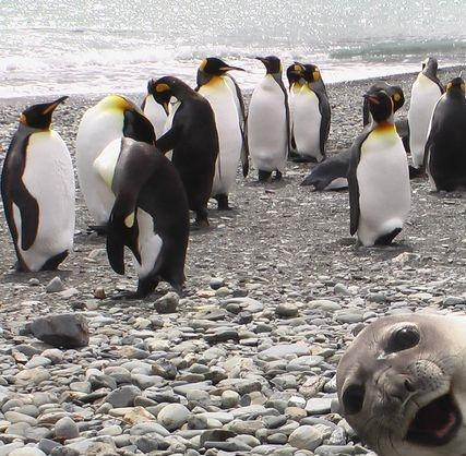#Funny Seal #Photobomb Photo Of Group Penguins