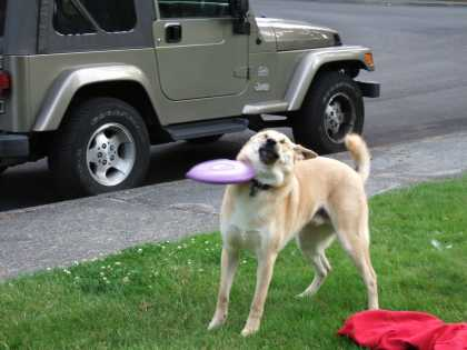 Dog getting hit with frisbee #meme #fail