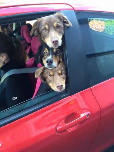 Three dogs in a car #aww