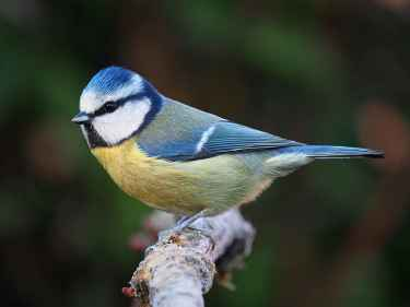Facts about Eurasian blue tit