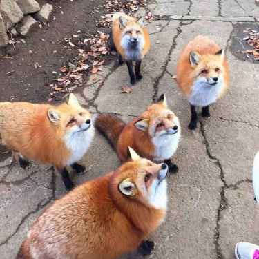 Skulk of #Foxes