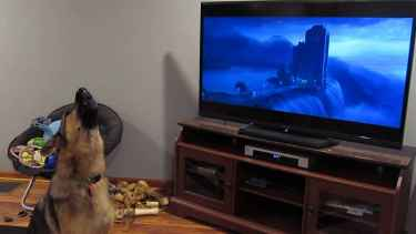 German shepherd joined the howl while watching #Zootopia