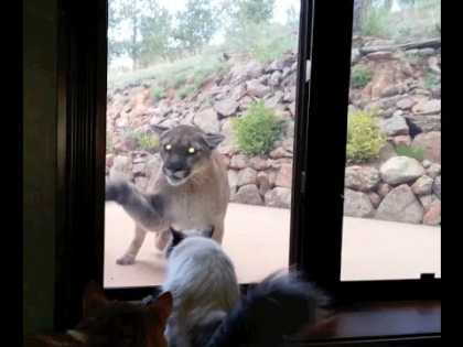 This Cat Is Not Afraid of Big Mountain Lion