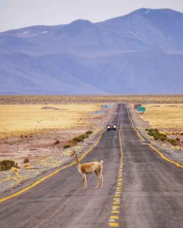 Why did the vicuña cross the road?