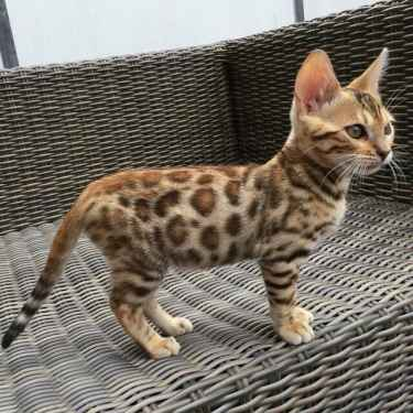Is this a cat or leopard? #aww