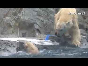 Mama polar bear saves its cub who fell into the pool and couldn't swim