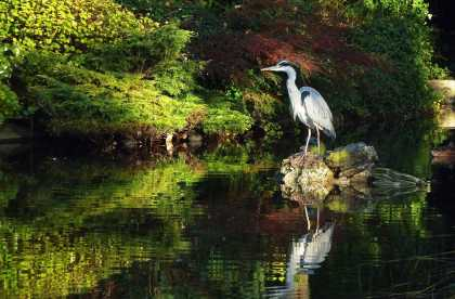 A Grey Heron | #photography #birds