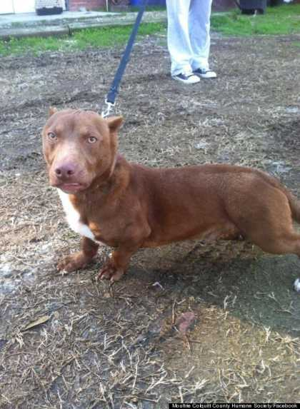 Pit Bull-Dachshund Mix Exist! And It Looks Like A Chupacabra!