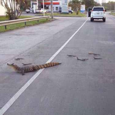 Mother crocodile crossing the street with bunch of baby crocs