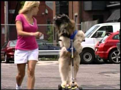 Norman, The Dog on a Scooter | #Amazing #ScooterDog