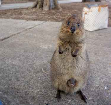 Super cute mama quokka with her baby...