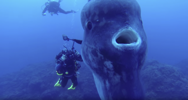Divers' encounter with an enormous sunfish!
