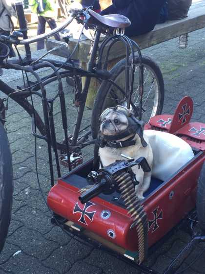 This pug is ready to go to war...