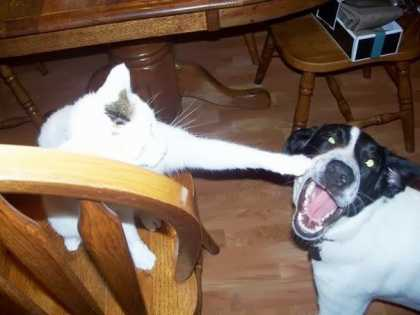 Cat's devastating left hook, almost knocks out dog! #funny #dogs