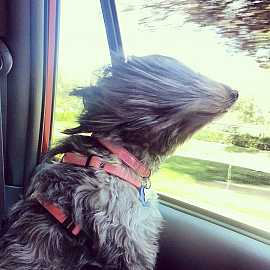 Dog in a car ride... #aww