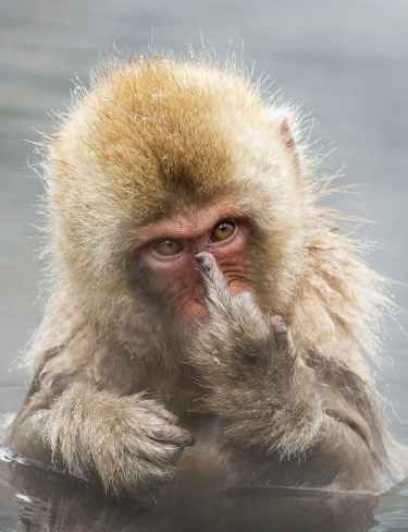 This monkey knows how to give you the middle finger...