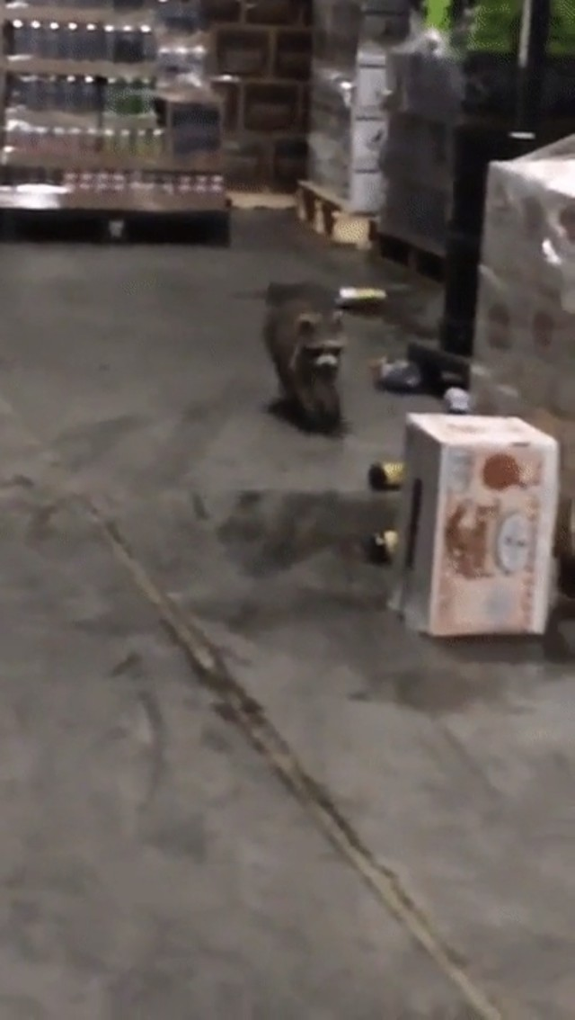 Raccoon got drunk after spending a night in an alcohol warehouse