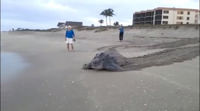 A huge turtle at the beach just trying to get to the sea... 🐢