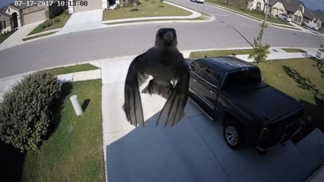 This bird captured on home security camera looks like it's floating
