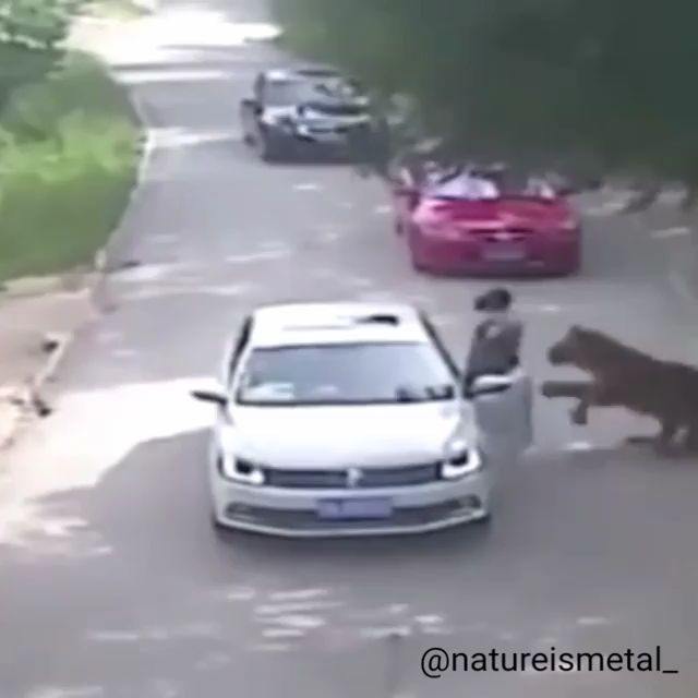 Woman gets out of the car inside a tiger enclosure for the #DarwinAwards
