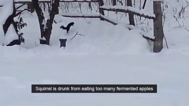 This squirrel is drunk from eating too many fermented apples