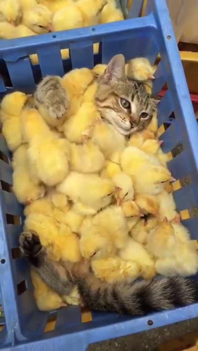 These chicks buried this poor kitty...